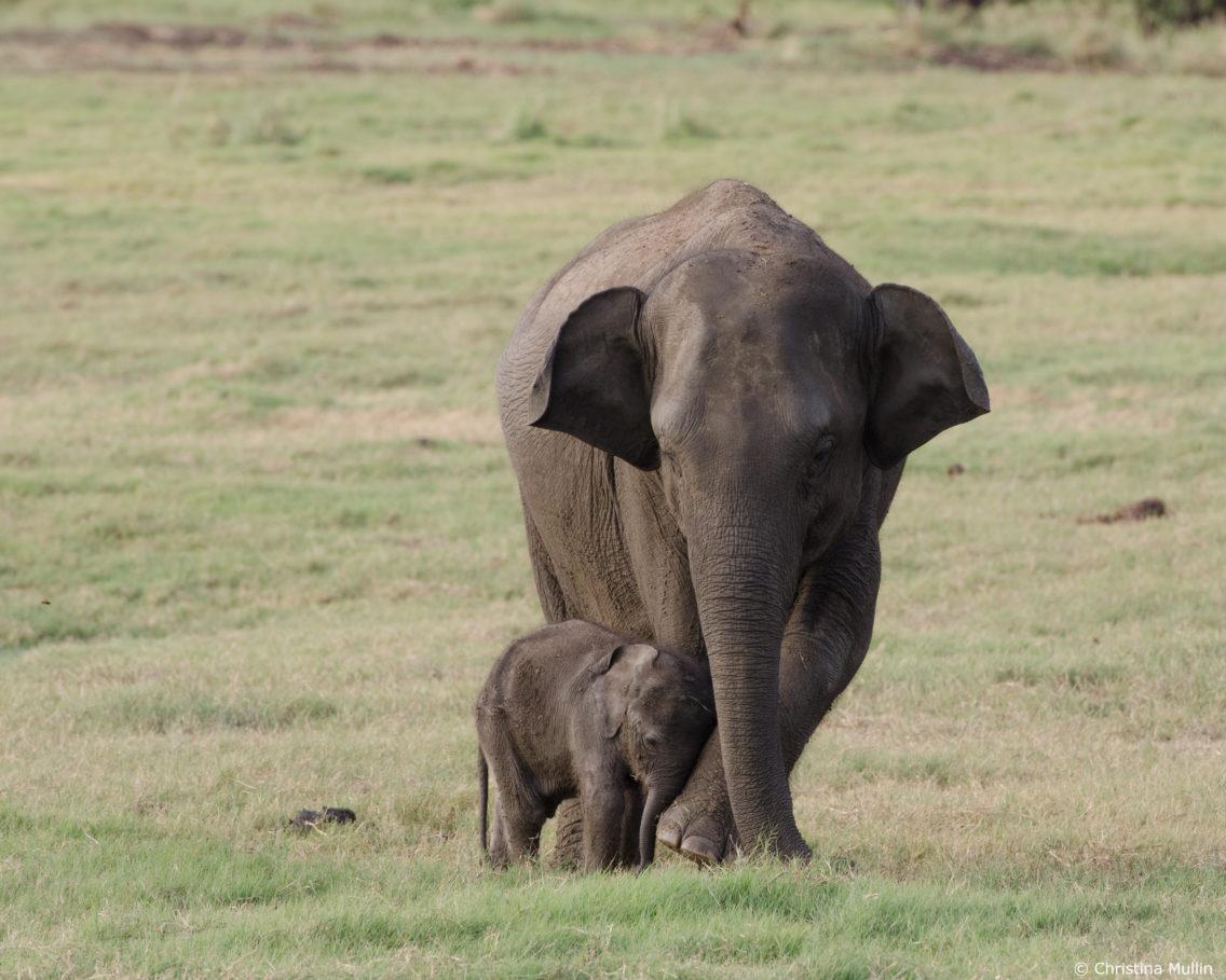 En liten elefantunge som lener seg mot moren sin.