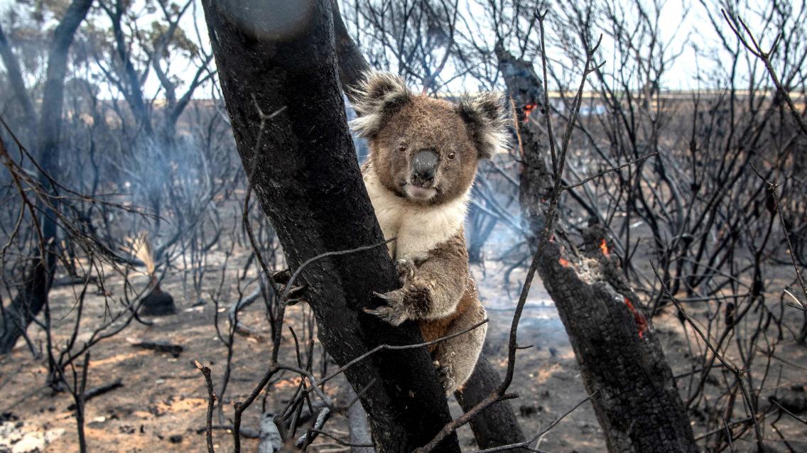 En koala klamrer seg fast til et nedbrent tre.