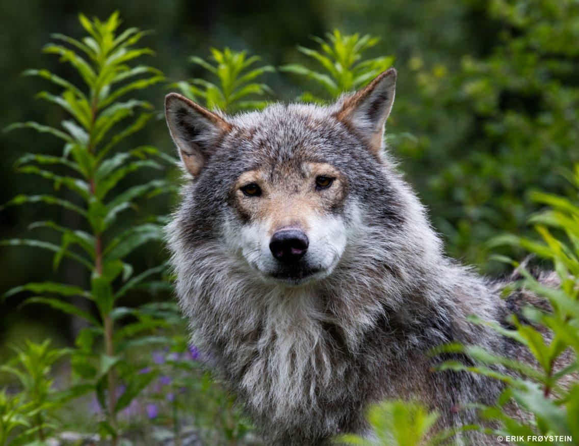 En ulv ser rett i kamera