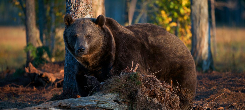 Brun bjørn i skogen og ser rett på kamera