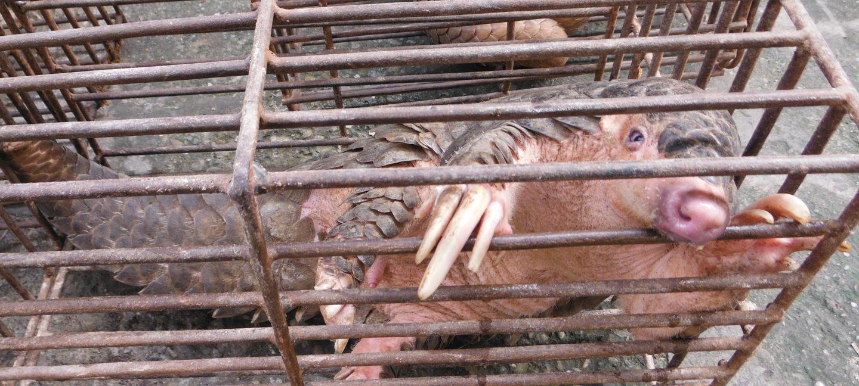 Pangolin ser på kamera fra fangenskap i bur.