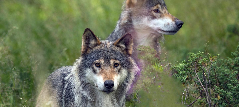 Ulver i terreng
