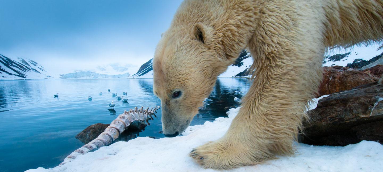 En isbjørn snuser ut ett hvalskjelett på Svalbard, europa-arktisk.