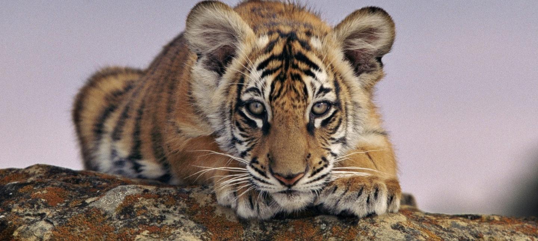 Tigerunge ligger på en stein og titter i kameraet