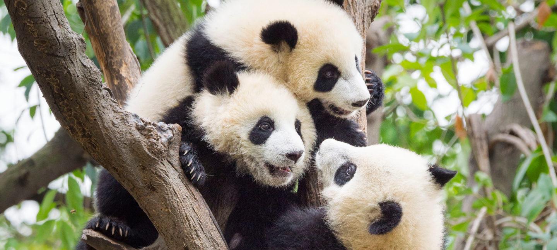 Tre pandaunger klatrer på en gren mot grønn bakgrunn.