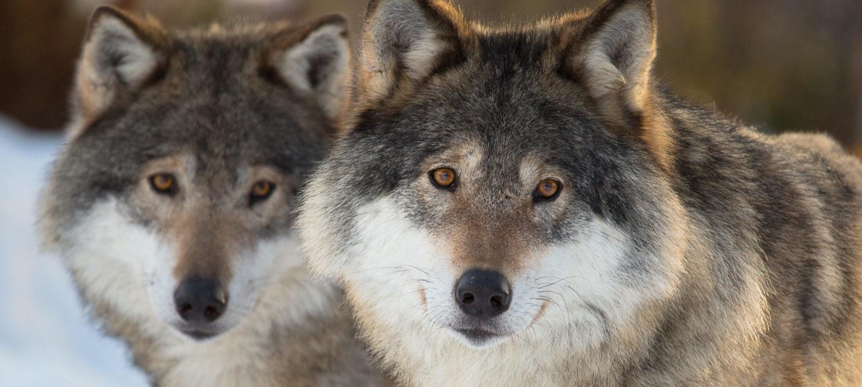 To ulver i vinterlandskap, side ved side, ser mot kameraet med hodene litt på skakke.