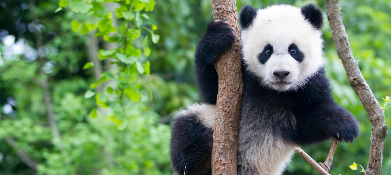 En panda henger i et tre.