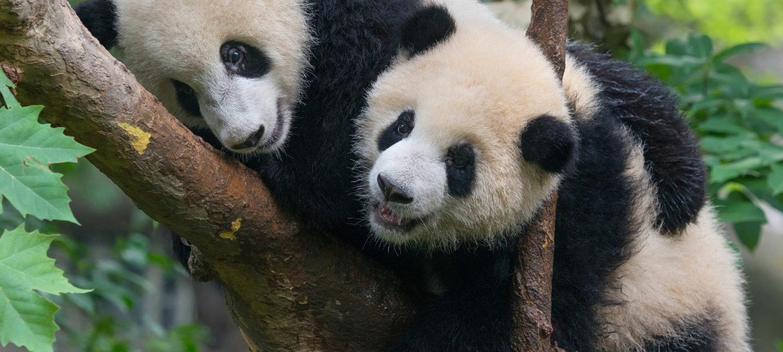 En panda i et tre.