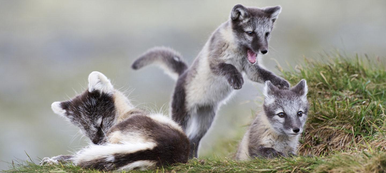 Fjellrev unger leker i fjellet.