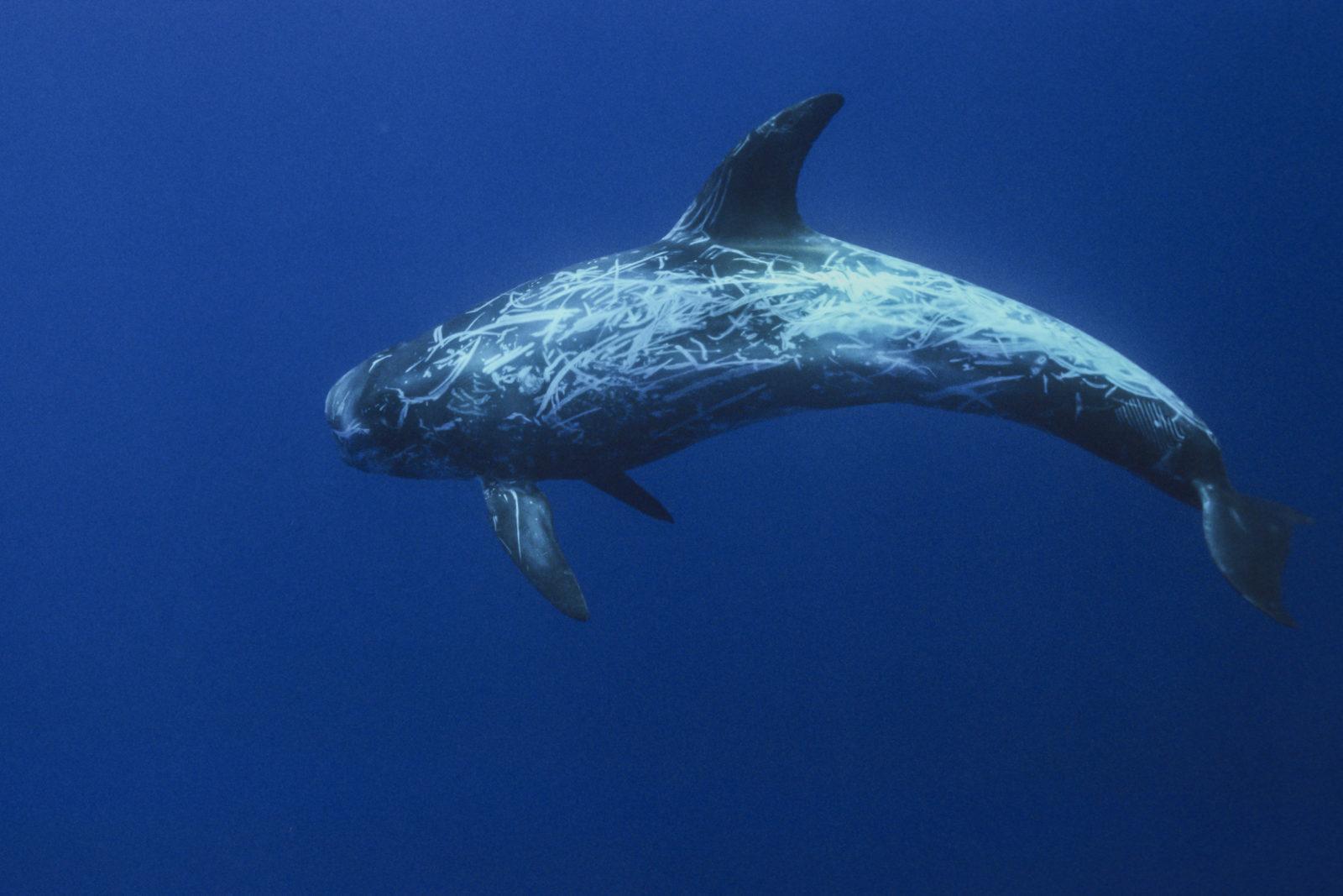 En delfin på dypt vann.