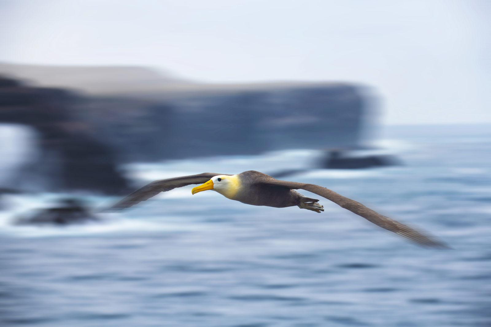 En albatross flyr langs kysten