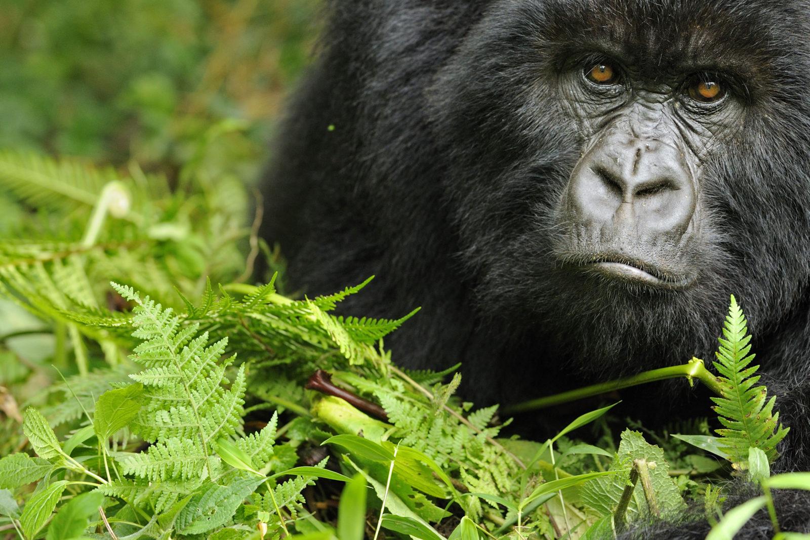 Utsnitt av et stort gorillahode som ser mot kamera