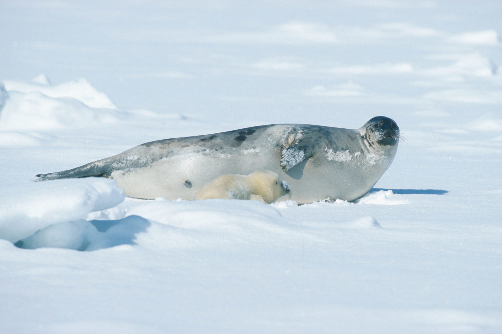 En grønlandssel ligger på isen sammen med ungen sin.