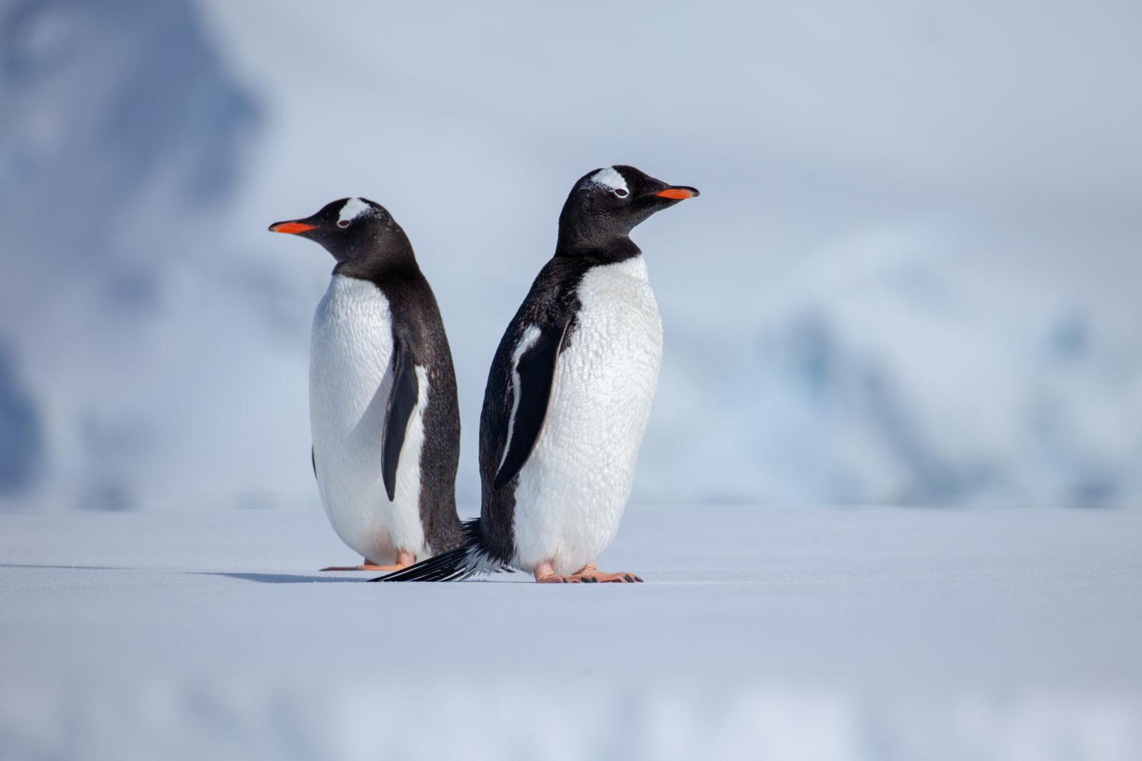 To pingviner på et isflak med ryggen mot hverandre.