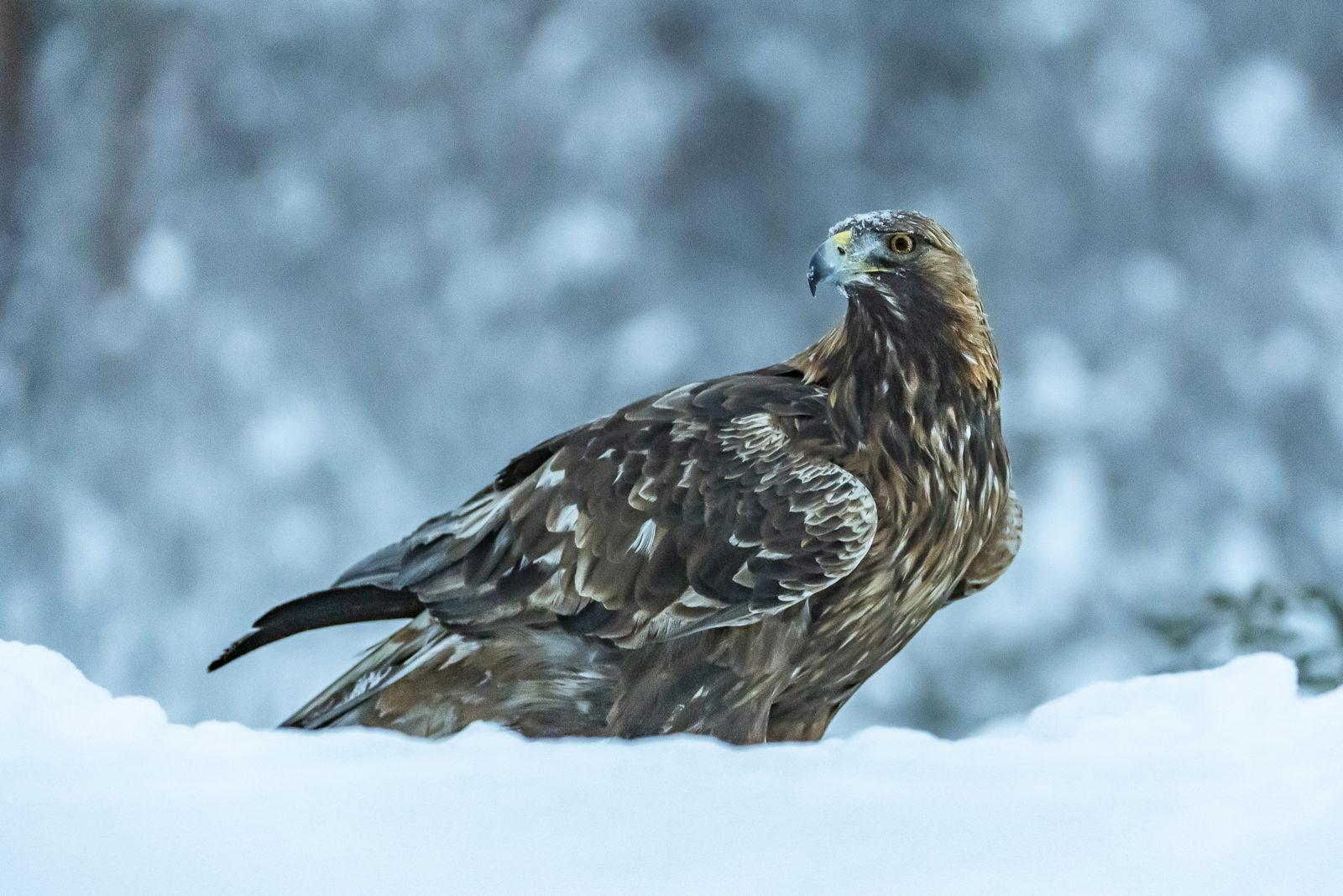 En kongeørn sitter på et snødekt underlag og kikker rundt seg.