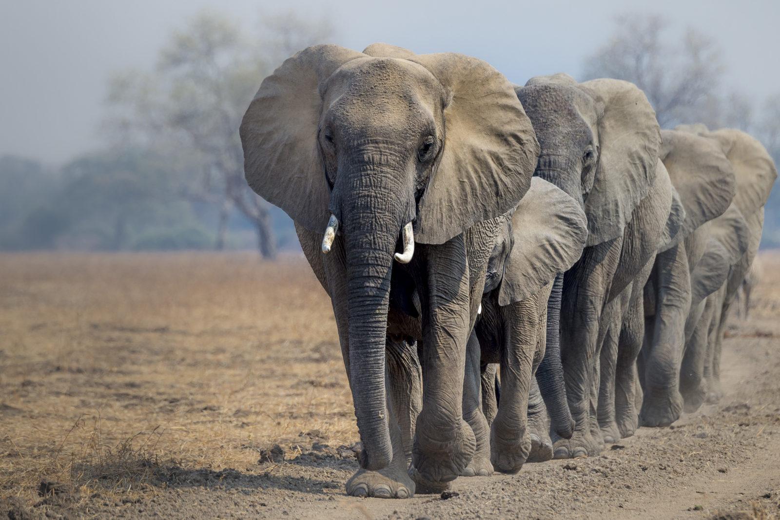 En flokk med elefanter som går langs en vei