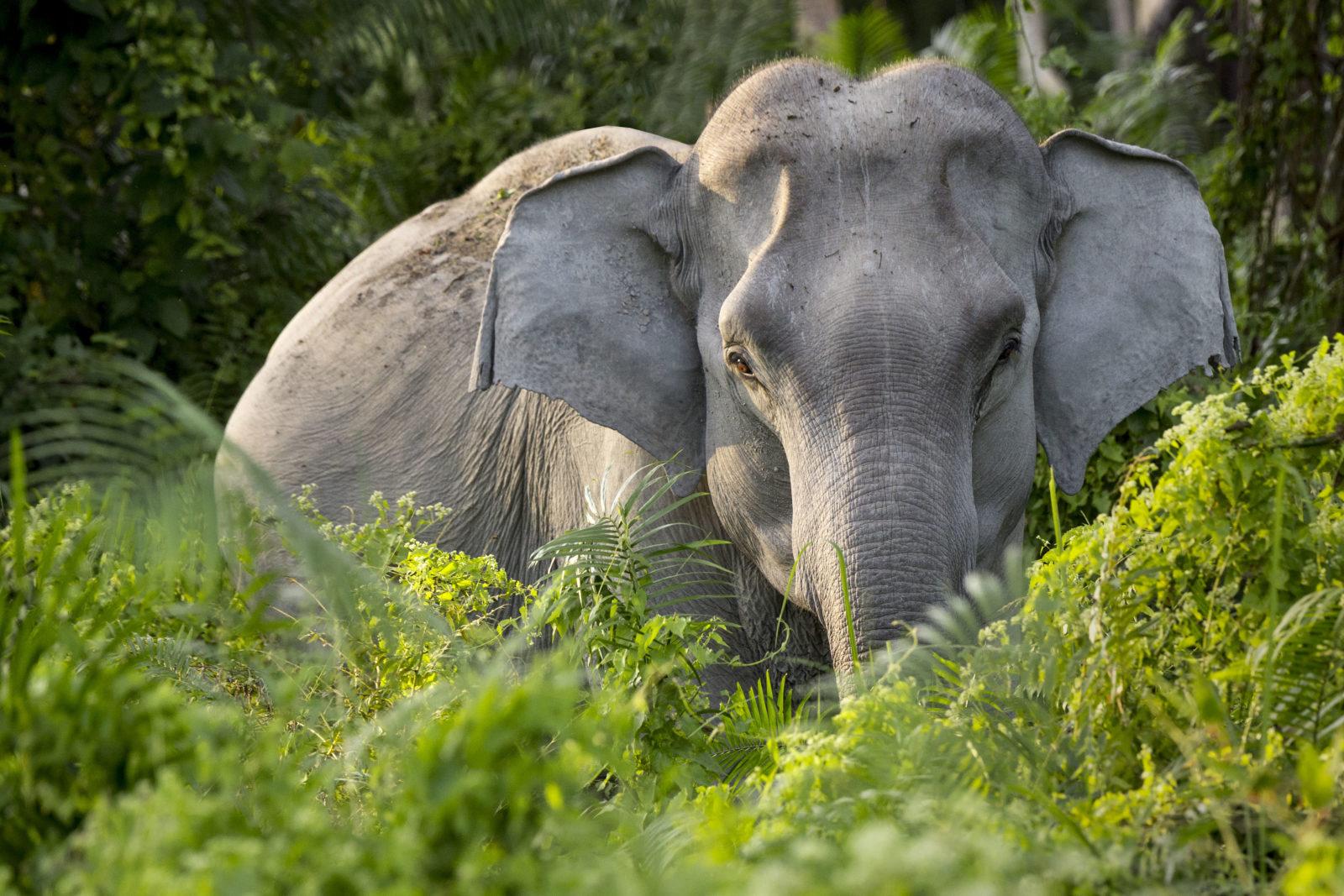 En asiatisk elefant som kikker frem mellom noen busker