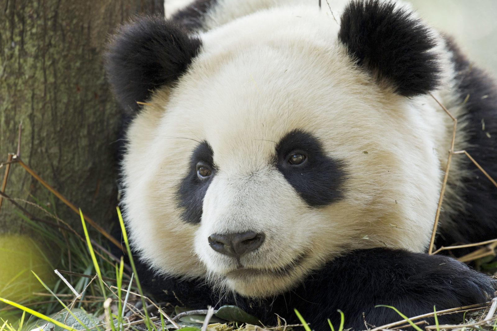 En sort og hvit kjempepanda hviler ved et tre.