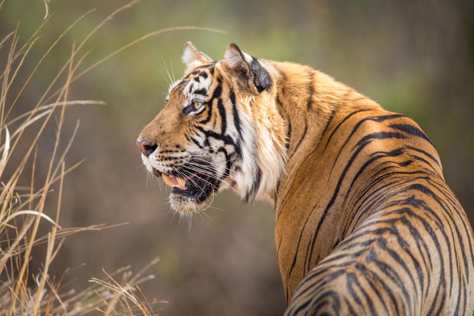 En tiger som kikker seg til siden