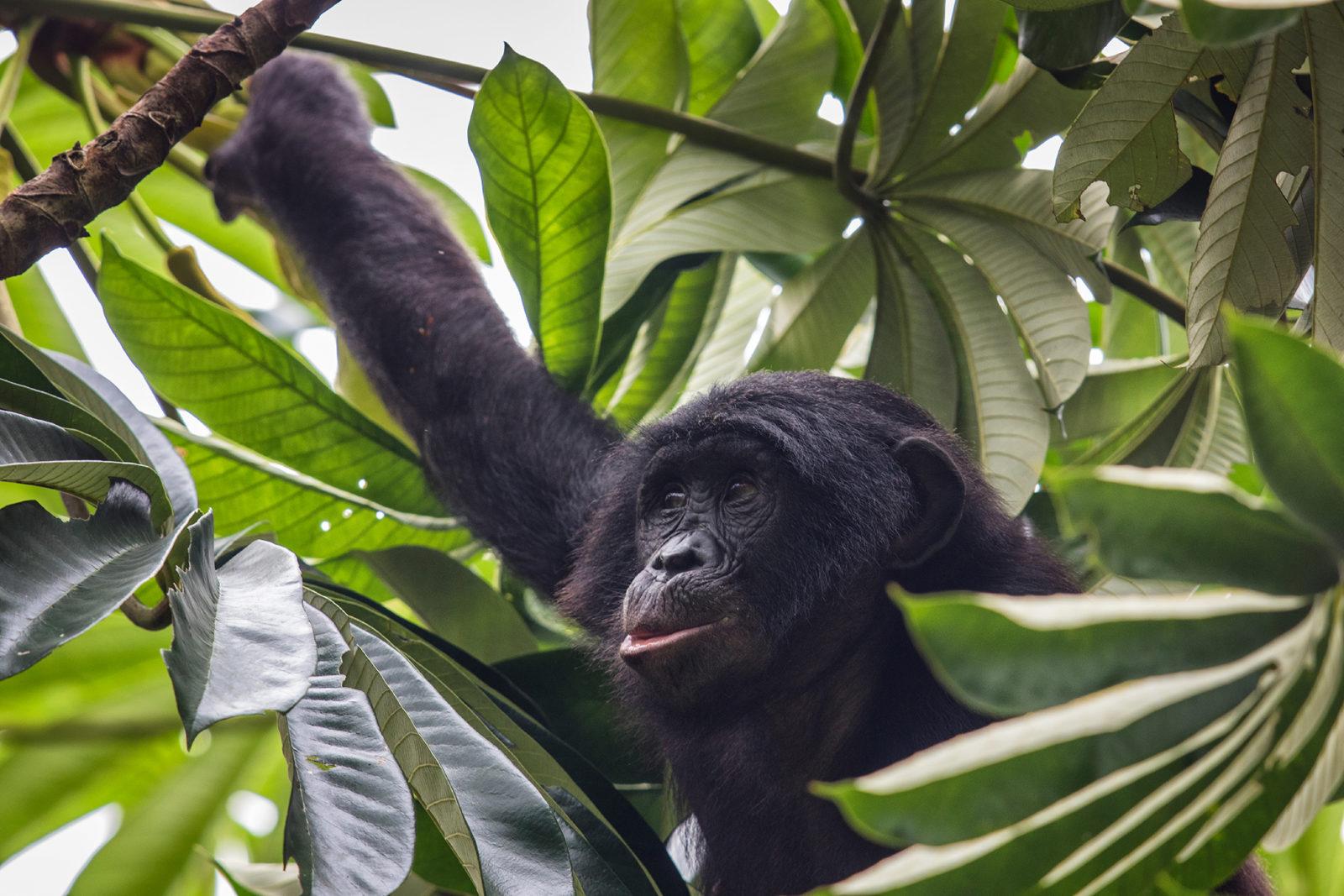 En sjimpanse stikker hodet fram fra bladverket i et tre