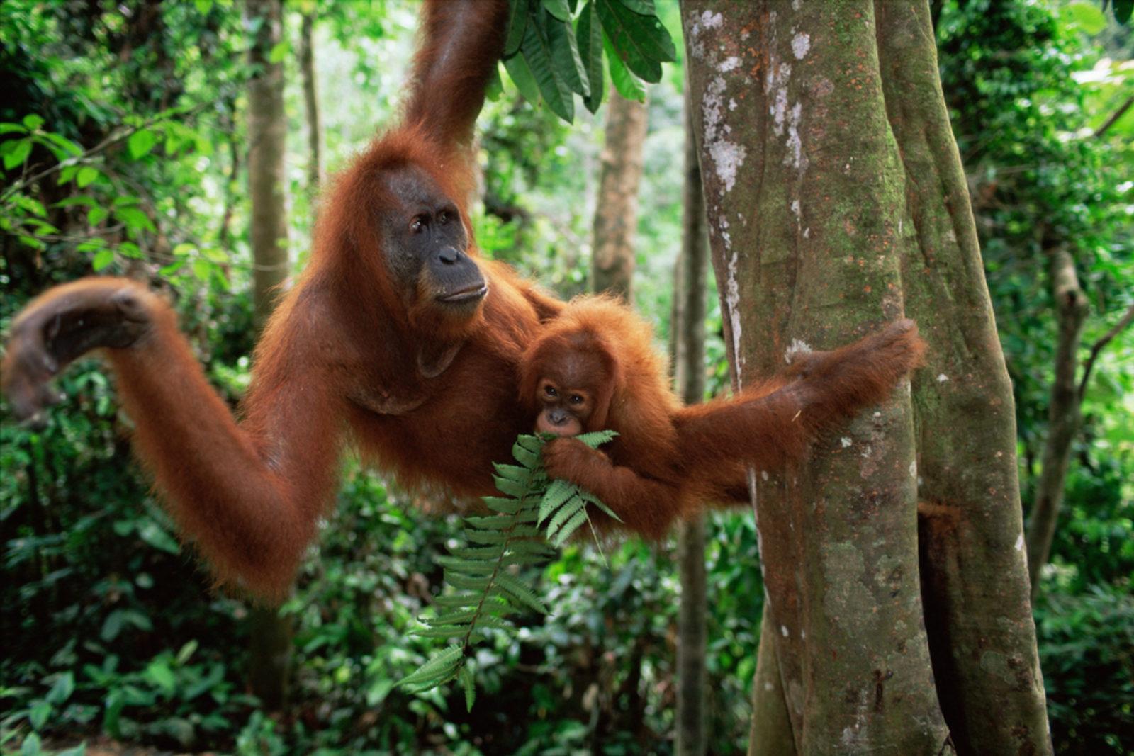 En sumatraorangutang svinger seg i trærne med en unge på magen