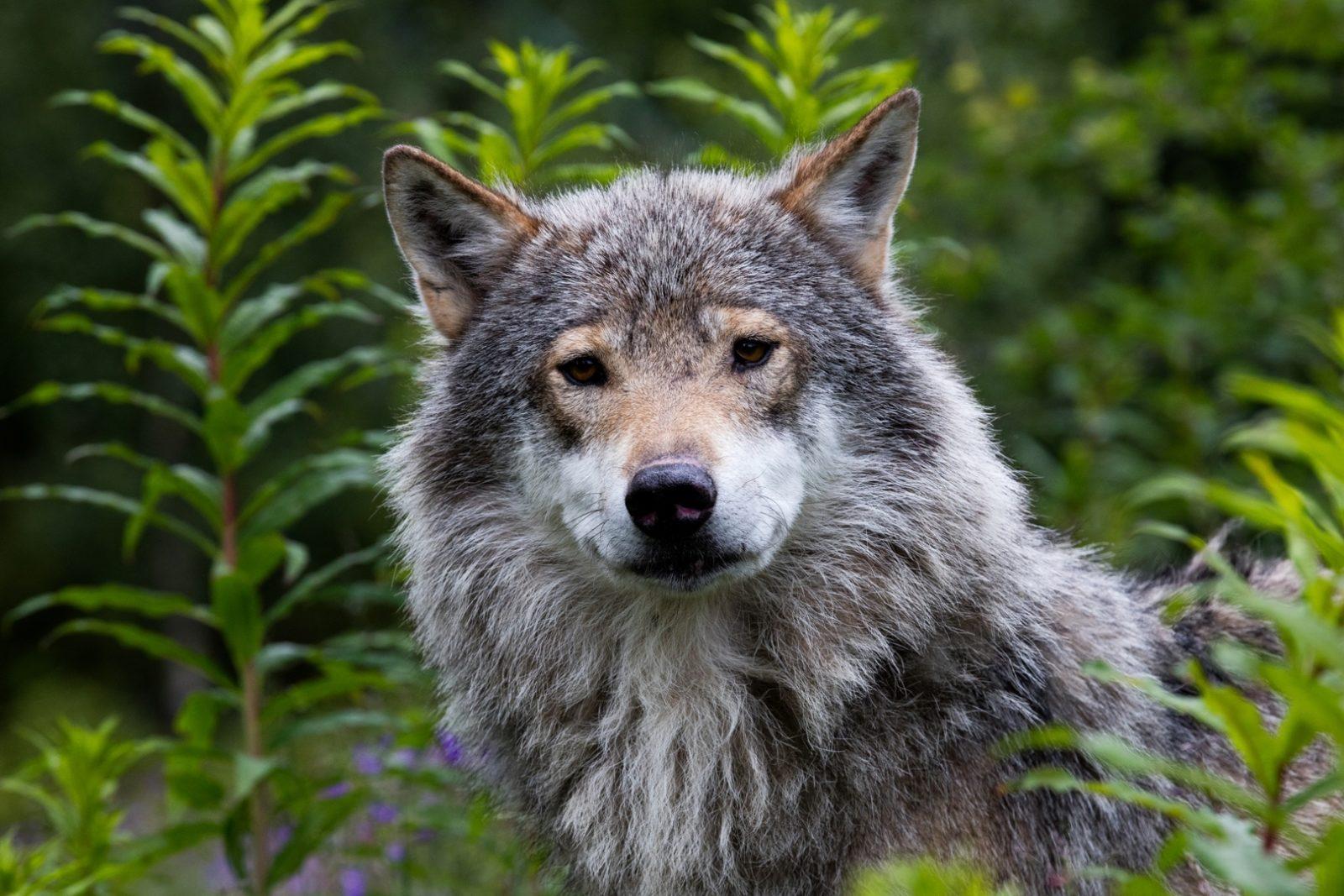 En ulv kikker frem bak noen busker. Den ser rett i kamera.
