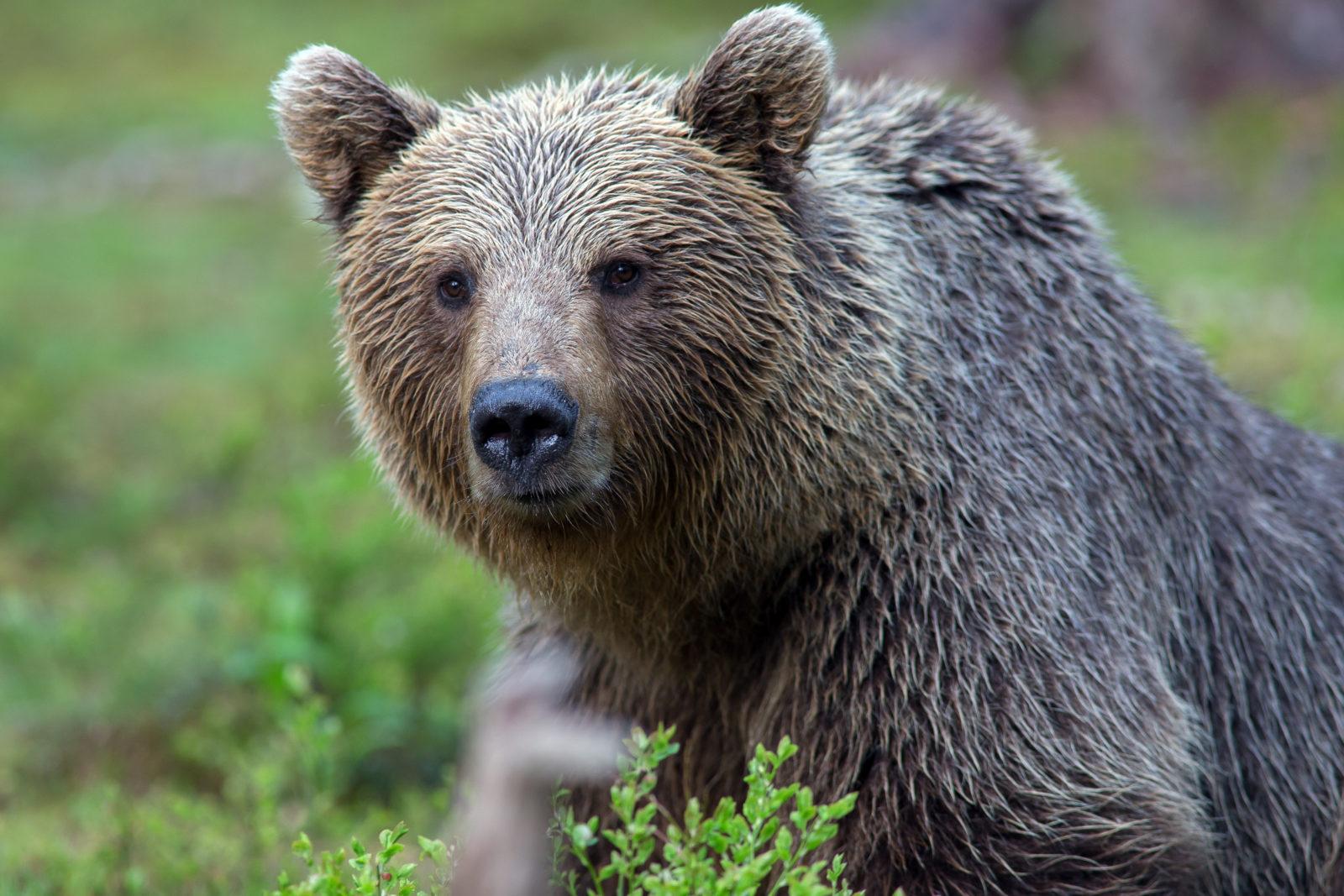 Nærbilde av brunbjørn som går i blåbærlyng