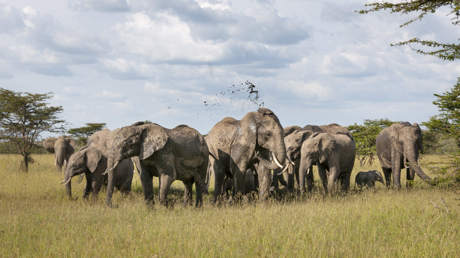 En flokk med elefanter på savannen