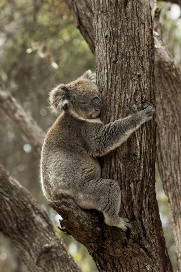 Koala klamrer seg til tre