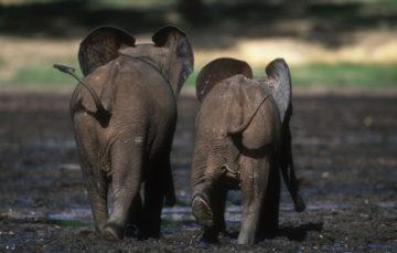 To unge skogselefanter som går over en gjørmete slette