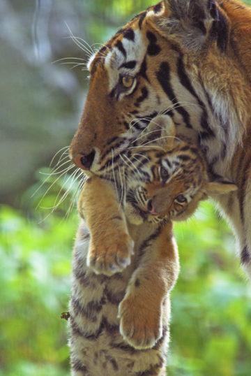 En tigermamma som bærer ungen sin med munnen
