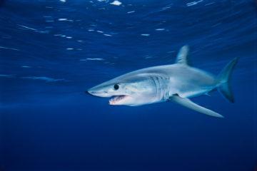 En makrellhai svømmer under vann