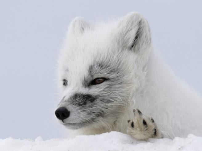 Nærbilde av hvit fjellrev