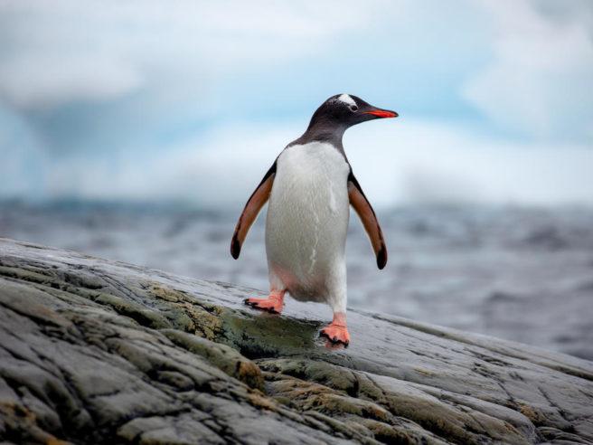 En bøylepingvin på Antarktishalvøya.