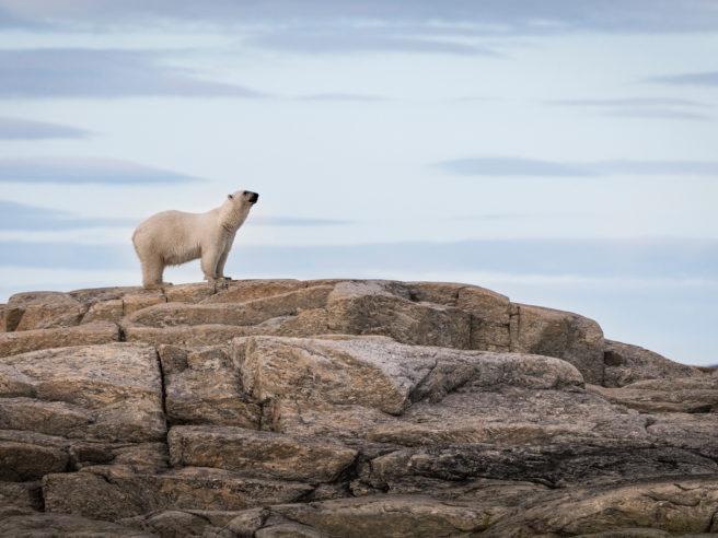 En isbjørn står på en bergknaus og ser ut av bildets høyrekant.