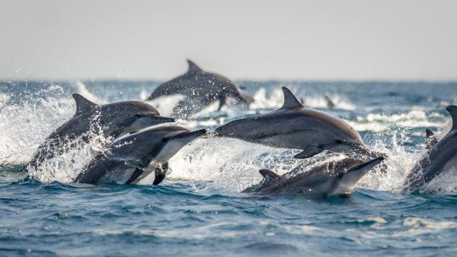 En flokk delfiner hopper over vannet.