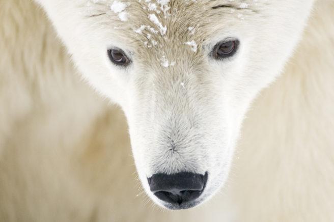 Hodet på en voksen isbjørn