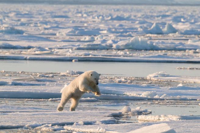 En isbjørn på et isfjell bykser opp og fremover, som på jakt etter noe på isen foran seg