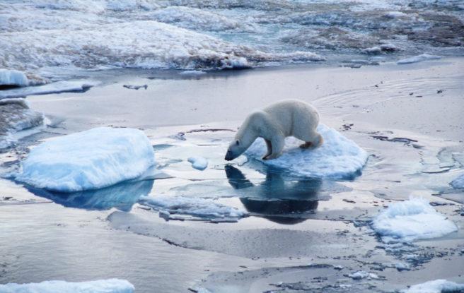 En isbjørn står på et isflak. Den har snuten ned mot vannet, for å oppdage byttedyr som kan svømme forbi