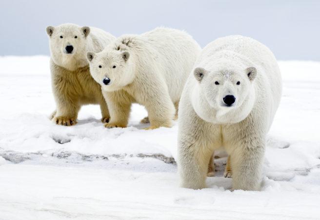 På isen står ei isbjørnbinne med to store unger rett bak seg