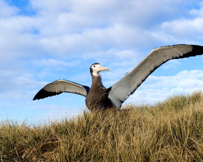 En ung vandrealbatross står på land med utslåtte vinger