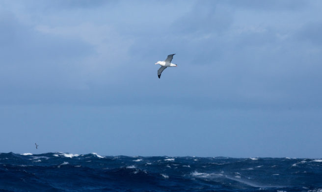 En svartbrynalbatross flyr høyt over havoverflaten.