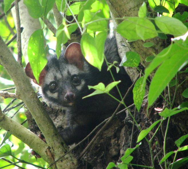 En asiapalmemår sitter i et tre, delvis dekket av blader.