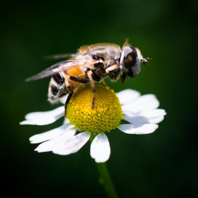 En bie på en prestekrage