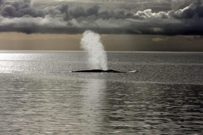 En blåhval sender opp en blåstsøylen i havoverflaten.