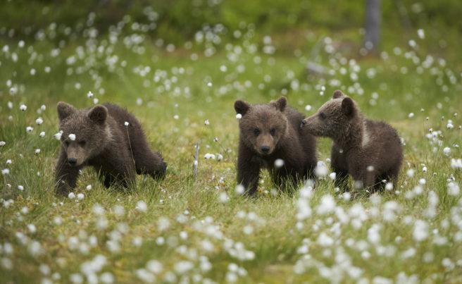 Tre bjørnunger på en eng