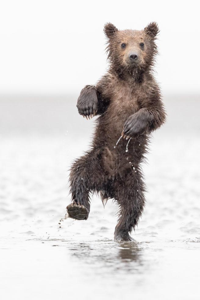 En liten rufsete og våt brunbjørn går på to ben mot kamera i vann.
