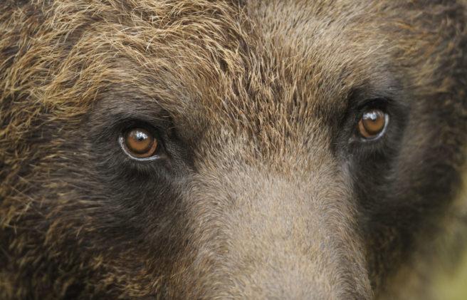 Nærbilde av øynene til en brunbjørn.