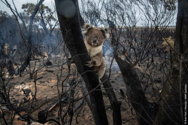 Koala i nedbrent skog