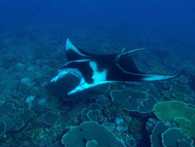 En kjempemanta seiler under vann.